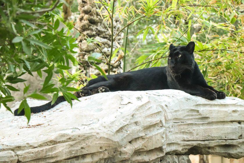 النمر الأسود ينضم إلى حديقة الإمارات للحيوانات