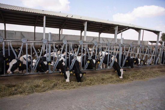 """""""مزارع العين"""" تتعهّد بالالتزام بحسن رعاية أبقارها"""