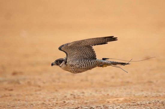 New Documentary Sheds Light on Saudi Arabia's Falconers